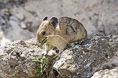 American Pika eating leaves on a rock USA ; Small rodent similar lagomorphs, live at high altitude do not hibernate, and therefore significant reserves of hay between the rocks where he lives<br>is scarce in relation to climate change - different species in Eurasia and North America -
