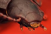 Portrait of Flour beetle imago ; Image digitally manipullated. <br>Species commonly used to fed reptile or fish pets and also in biological research; can be a post-harvest pest infesting stored grain production.