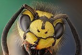 Portrait of German Yellowjacket wasp imago ; Image digitally manipullated. <br>German wasp, this hairy wasp can be identified by its three dots in the face.