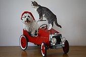 Tulear cotton and cat in a children car