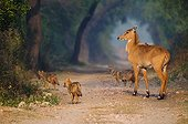 Young Nilgai with Jackals on track Keoladeo NP India