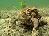 Common toads mating in the bottom of a lake France