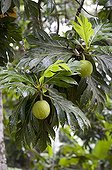 Breadfruit tree on the island of La Digue in the Seychelles ; Used as a vegetable, it tastes like potatoes. Can be fried, grilled, boiled or mashed