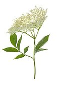 Black Elder flowers on white background
