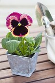 Large flowers Pansy and Transplanter on wooden table