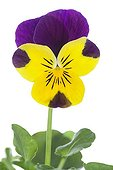 Purple and yellow Large flower Pansy on white background