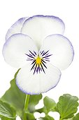 White and Purple Large flower Pansy on white background