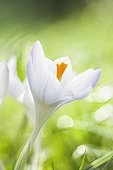 White crocus flower on a lawn in the spring France