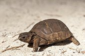 Elephantine tortoise of the Seychelles Cousin Island ; The individual is aged three weeks