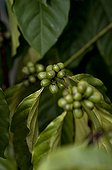 Coffee beans on the plant in Mahé Seychelles