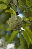 Sugar apple on the tree in Mahé Seychelles