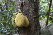 Jackfruit on the tree island of Mahe in the Seychelles ; It grows on the trunk of the tree and can weigh up to 25 kg