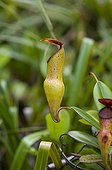 Pitcher plants endemic to the Seychelles ; Grows between 400 and 750 m