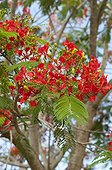 Flamboyant in bloom on the island of Mahe in the Seychelles