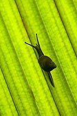 Snail endemic to the Seychelles Island of Mahe