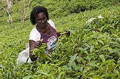 Tea picker on the island of Mahe in the Seychelles