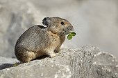 American Pika munching on clover leaves Jasper NP Canada