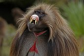 """Portrait of a male Gelada Simien Mountains Ethiopia ; It folding its upper lip in a display of """"grin"""" behavior."""