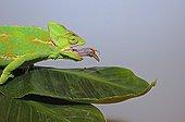 Yemen Veiled chameleon capturing a Locust