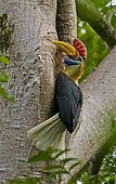 Male Knobbed Hornbill at the entrance of its nest Sulawesi