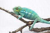 Panther Chameleon 'Nosy Be'