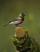 Southern Double-collared Sunbird calling from protea flower