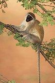 Vervet Monkey sitting on a thorny acacia Ethiopia