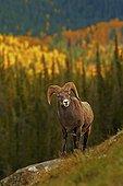 Young Bighorn ram in the Jasper NP Canada