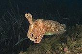 Cuttlefish common in position of intimidation Monaco
