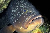 Portrait of a Dusky Grouper Port-Cros NR France