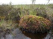 Roundleaf sundews on sphagnum in a peat bog