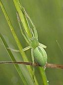 Green huntsman spinde female on grass