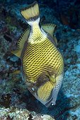 Titan triggerfish in an atoll of the Maldives