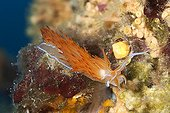 Orange sea slug on coralline algae in the Mediterranean sea