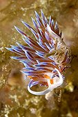 Sea slug depositing an egg ribbon in the Mediterranean sea