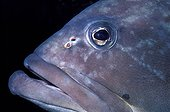 Portrait of a Dusky Grouper in the Port-Cros NP