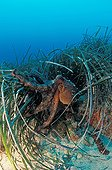 Octopus in a Posidonia meadows in the Mediterranean France