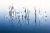 Reeds and reflection pond Bellebouche Brenne France