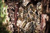 Guêpes des bois sur leur nid dans un Cyprès France