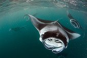 Manta rays feeding plankton Baa Atoll Maldives ; The particles seen floating in the water are composed of zooplankton that feed the rays