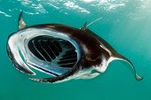 Manta ray feeding plankton Baa Atoll Maldives ; The particles seen floating in the water are composed of zooplankton that feed the rays
