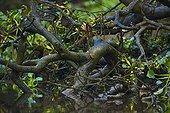 Blue eared kingfisher on bank River Kinabatangan Borneo