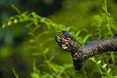 Blue eared kingfisher on a branch River Kinabatangan Borneo