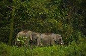 Bornean pygmy forest elephants in lowland rainforest Borneo