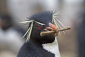 Southern Rockhopper Penguin on the Pebble island Falklands ; It carries a bone in its mouth to build its nest