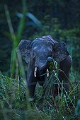 Bornean pygmy forest elephant in lowland rainforest Borneo