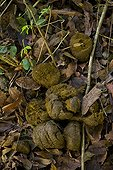 Excrements of Bornean pygmy forest elephant Borneo