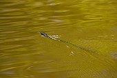 Mangrove snake swimming Kinabatangan river Borneo