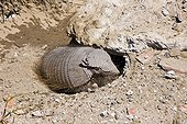 Armadillo in its burow Peninsula Valdes Argentina