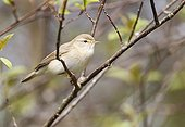 Willow warbler perched in a tree at spring England